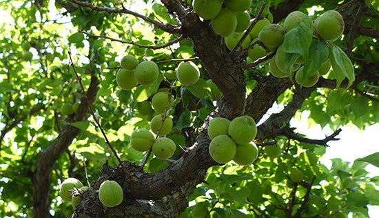 庭の梅の木から梅を収穫した2.jpg