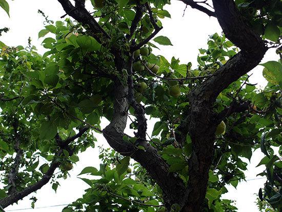 庭の梅の木から梅を収穫した。2013年1.jpg