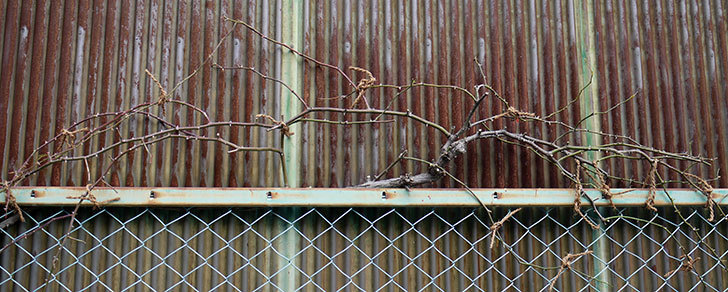 庭植えしてあるツルバラの誘引をした2.jpg