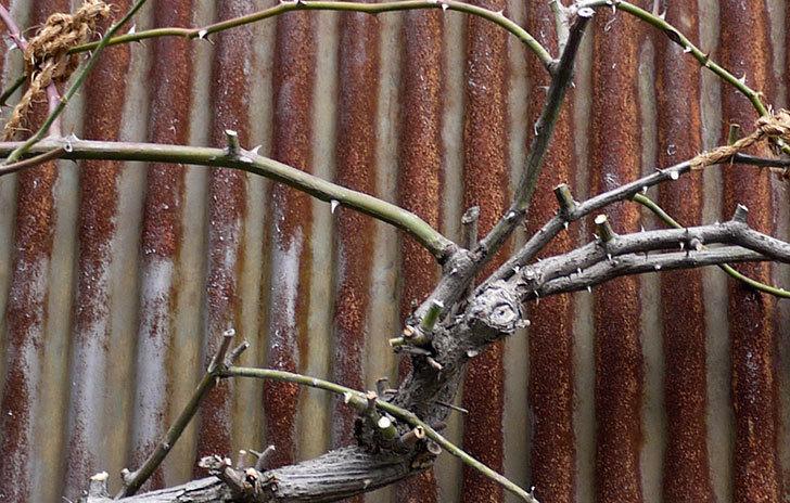 庭植えしてあるツルバラの誘引をした3.jpg