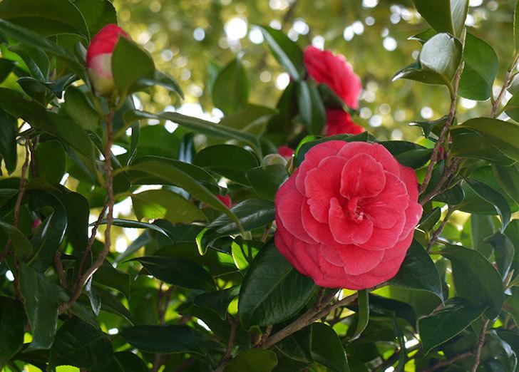 庭植えの2本目の赤いツバキの花が咲いた1.jpg