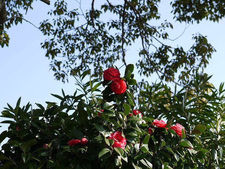 庭植えの2本目の赤いツバキの花が咲いた2.jpg