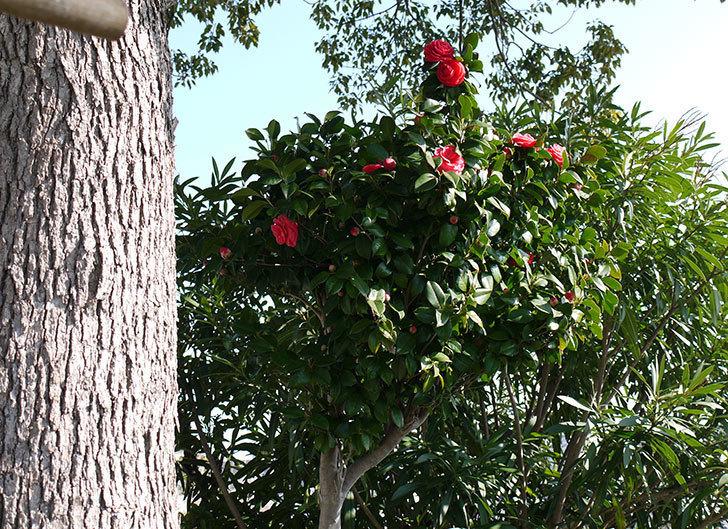 庭植えの2本目の赤いツバキの花が咲いた3.jpg