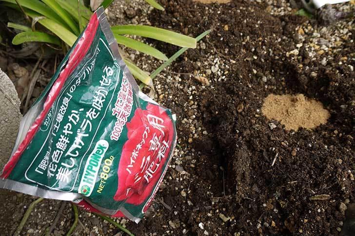 庭植えのジュリア(ツルバラ)に肥料をやった2.jpg