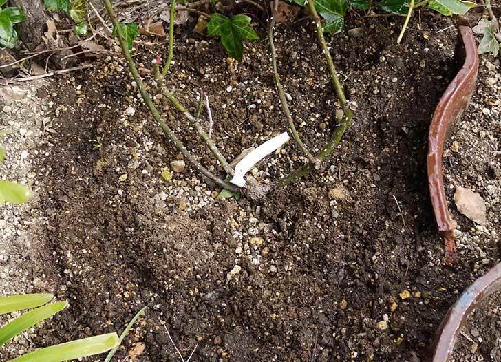 庭植えのジュリア(ツルバラ)に肥料をやった5.jpg