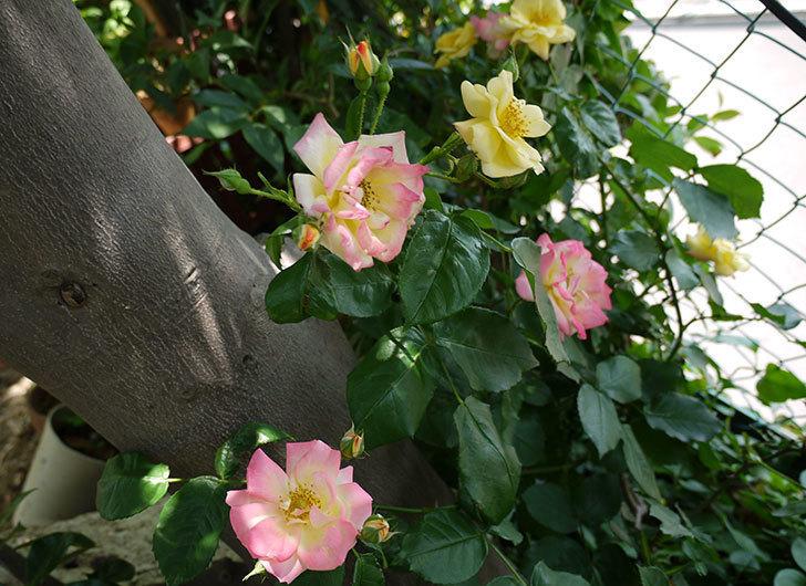 庭植えの木立バラが咲いた。2015年-1.jpg