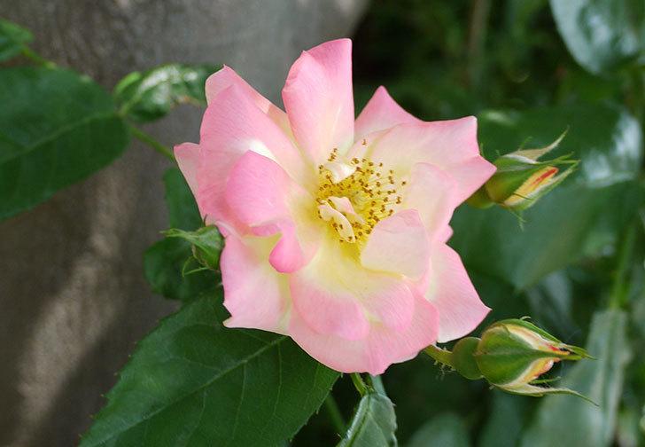 庭植えの木立バラが咲いた。2015年-2.jpg