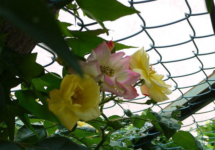 庭植えの木立バラが咲いた。2015年-3.jpg