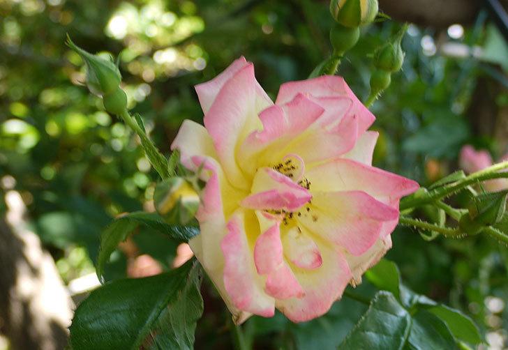 庭植えの木立バラが咲いた。2015年-4.jpg