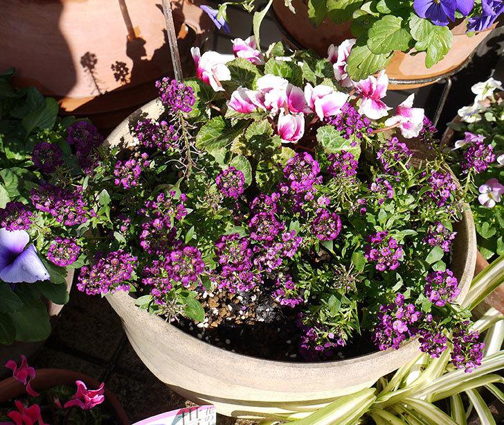 弱っていた紫のアリッサムが復活してきた。2016年-1.jpg