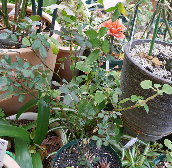 挿し木したチョコフィオーレ(ミニバラ)の花が咲いた。2017年-3.jpg