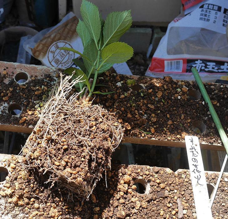 挿し木で増やしたアジサイの植え替えした。2020年-1.jpg