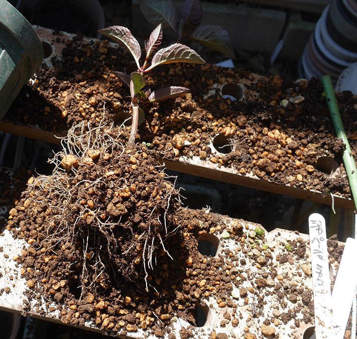 挿し木で増やしたアジサイの植え替えした。2020年-5.jpg