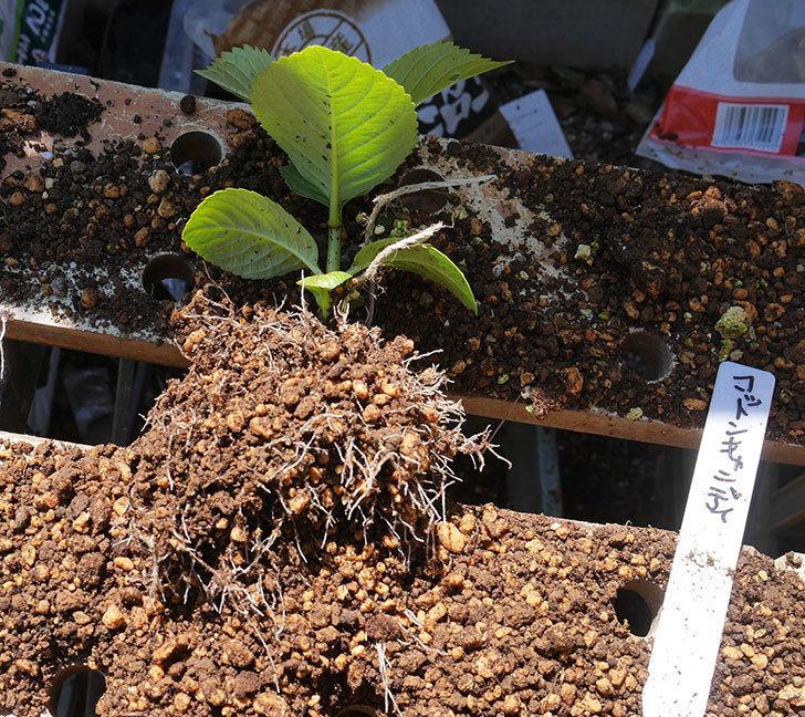 挿し木で増やしたアジサイの植え替えした。2020年-7.jpg