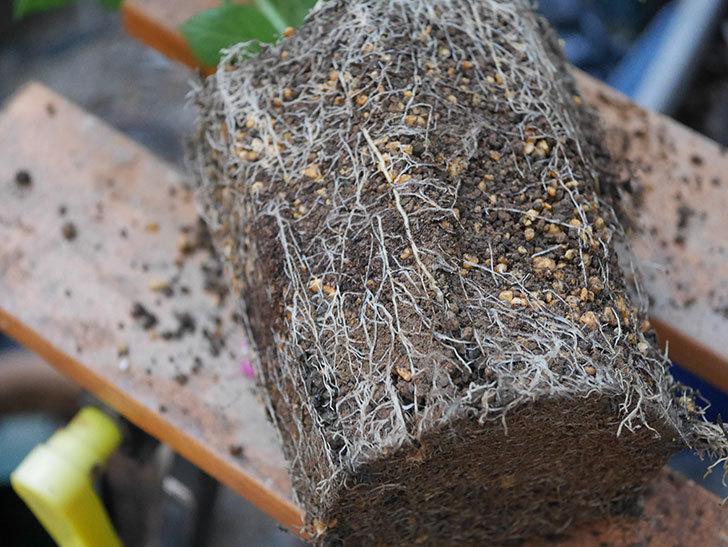 挿し木で増やしたアジサイの鉢増しをした。2020年-003.jpg