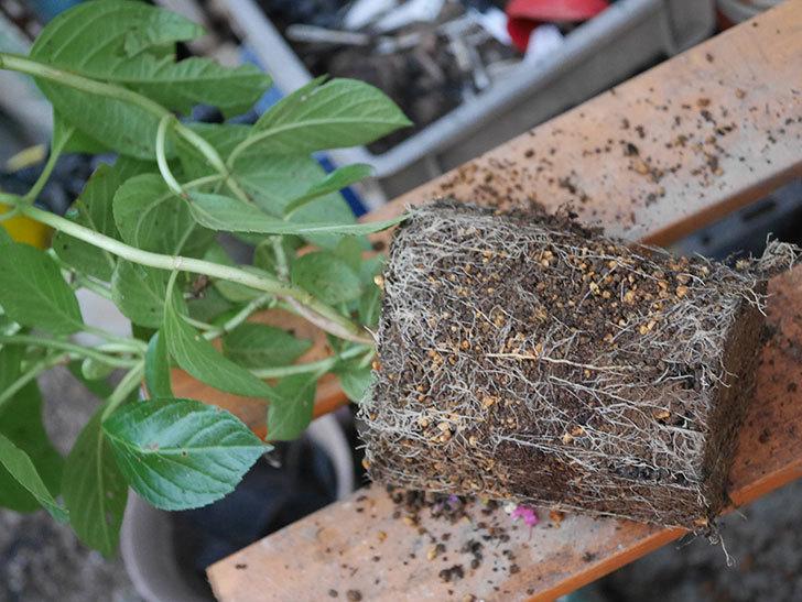挿し木で増やしたアジサイの鉢増しをした。2020年-005.jpg