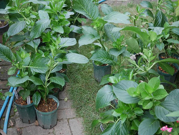 挿し木で増やしたアジサイの鉢増しをした。2020年-008.jpg