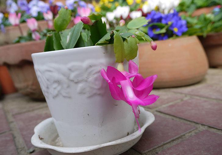 挿し芽で増やしたピンクのシャコバサボテン(蝦蛄葉サボテン)が咲いた。2015年-1.jpg