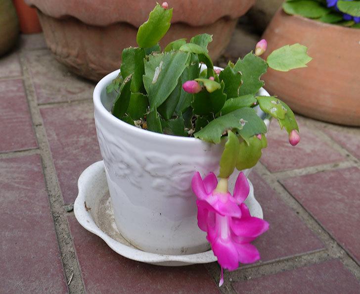 挿し芽で増やしたピンクのシャコバサボテン(蝦蛄葉サボテン)が咲いた。2015年-3.jpg