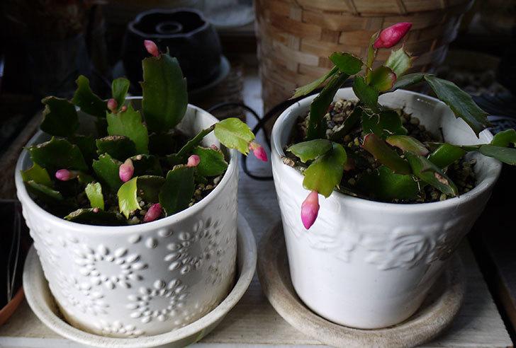 挿し芽で増やしたピンクのシャコバサボテン(蝦蛄葉サボテン)が咲いた。2015年-4.jpg