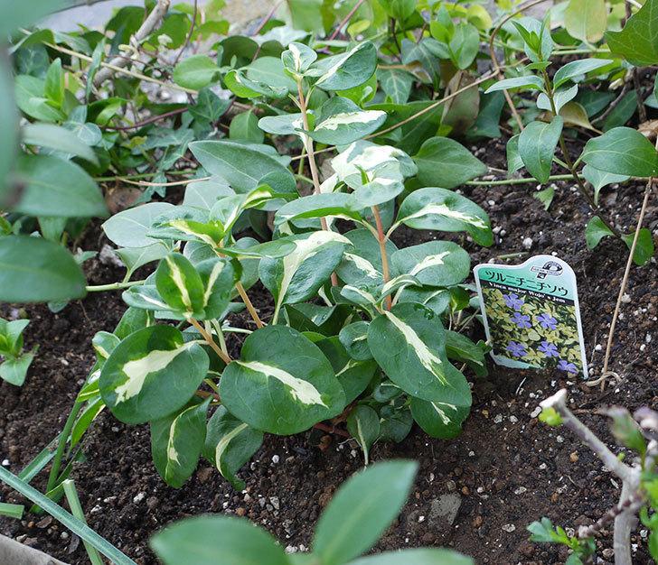 斑入りのツルニチニチソウを地植えした。2017年-1.jpg