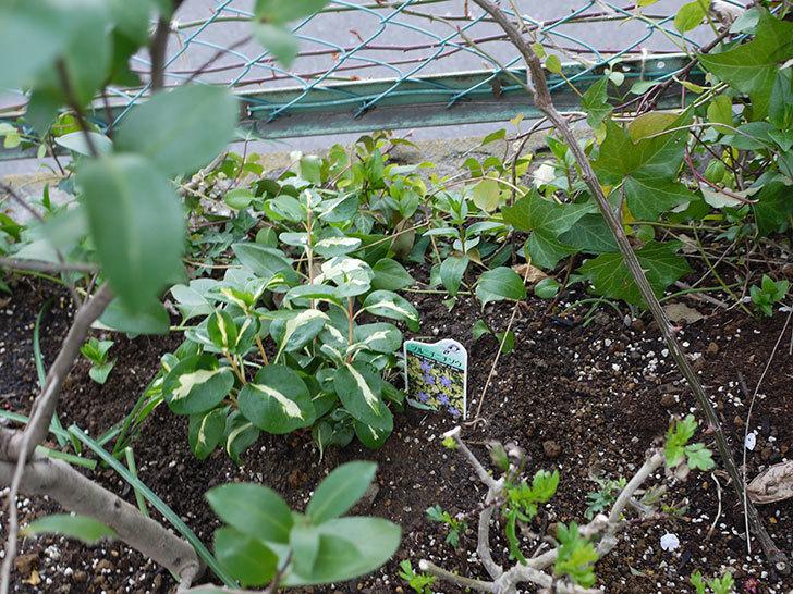 斑入りのツルニチニチソウを地植えした。2017年-2.jpg