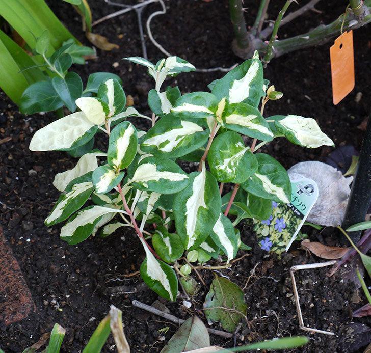 斑入りのツルニチニチソウを地植えした。2017年-3.jpg