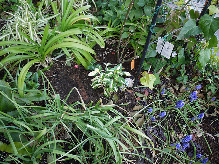 斑入りのツルニチニチソウを地植えした。2017年-4.jpg