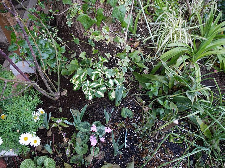 斑入りのツルニチニチソウを地植えした。2017年-6.jpg