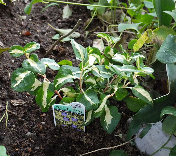 斑入りのツルニチニチソウを地植えした。2017年-7.jpg