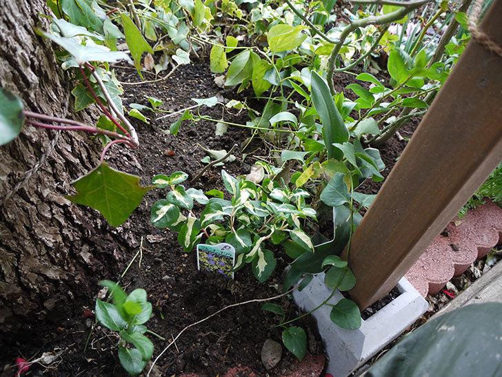 斑入りのツルニチニチソウを地植えした。2017年-8.jpg