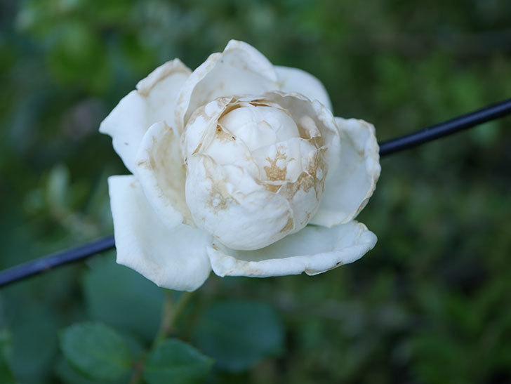 新雪(Shinsetsu)の2番花が咲いた。ツルバラ。2020年-001.jpg