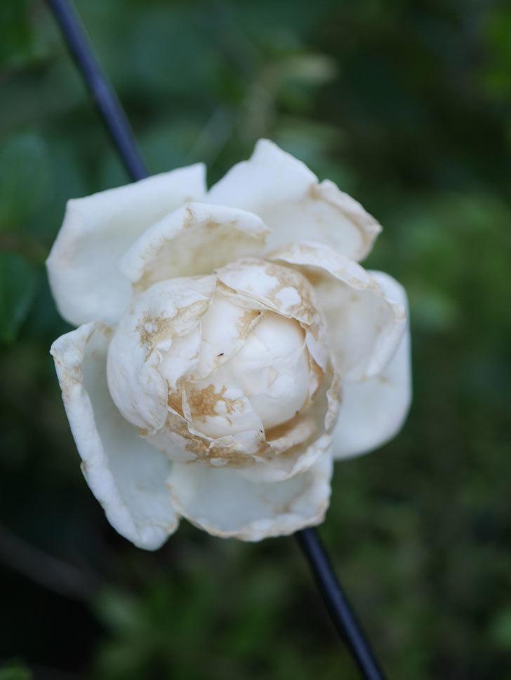 新雪(Shinsetsu)の2番花が咲いた。ツルバラ。2020年-002.jpg