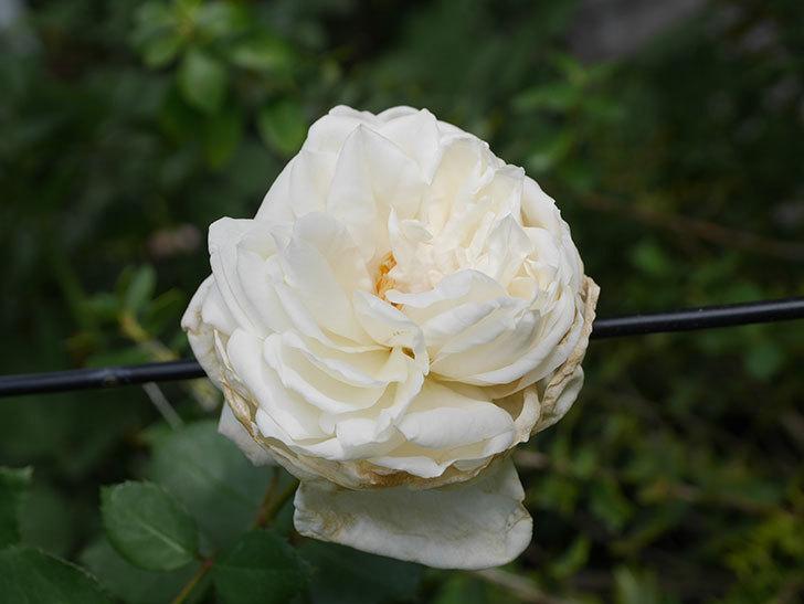 新雪(Shinsetsu)の2番花が咲いた。ツルバラ。2020年-005.jpg