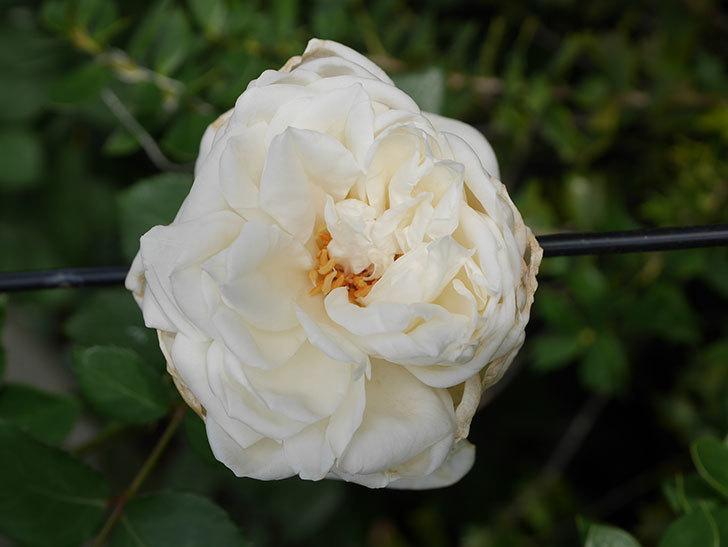 新雪(Shinsetsu)の2番花が咲いた。ツルバラ。2020年-006.jpg