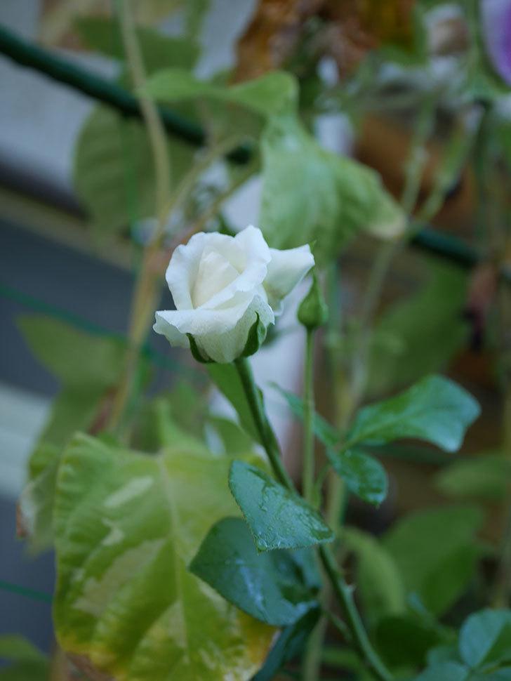 新雪(Shinsetsu)の夏花が咲いた。ツルバラ。2020年-006.jpg