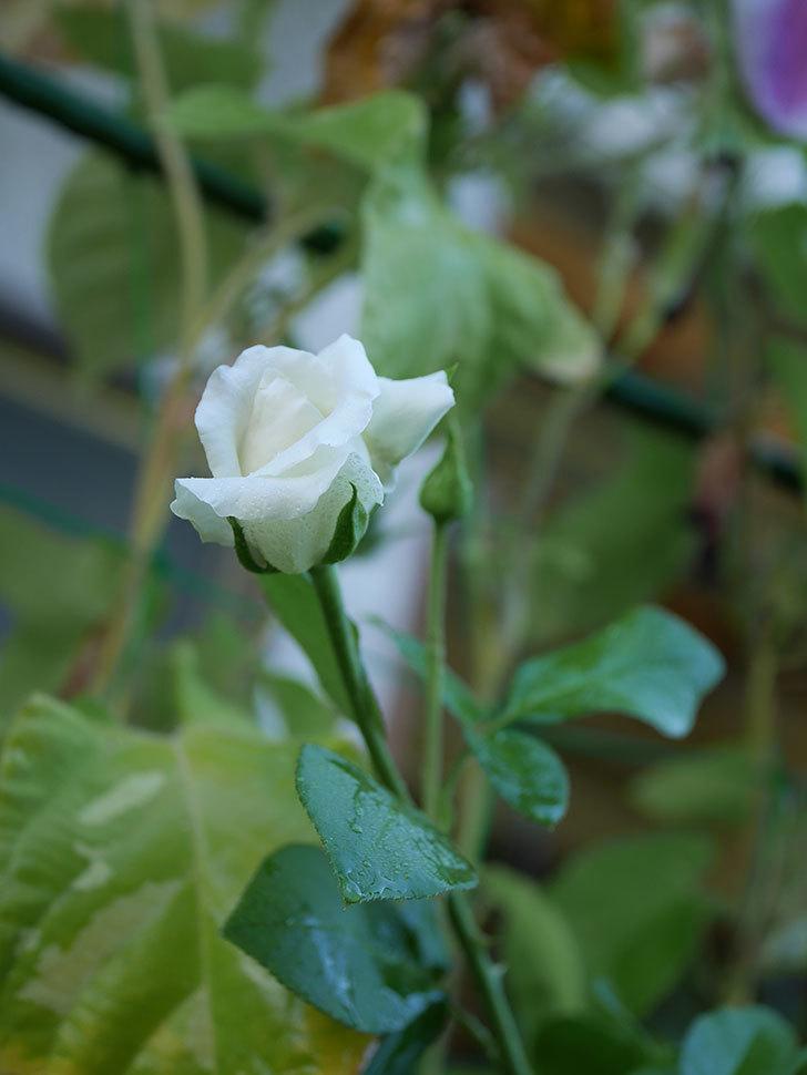 新雪(Shinsetsu)の夏花が咲いた。ツルバラ。2020年-007.jpg