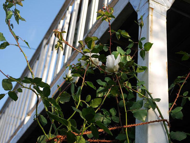 新雪(Shinsetsu)の秋花が咲いた。ツルバラ。2020年-002.jpg
