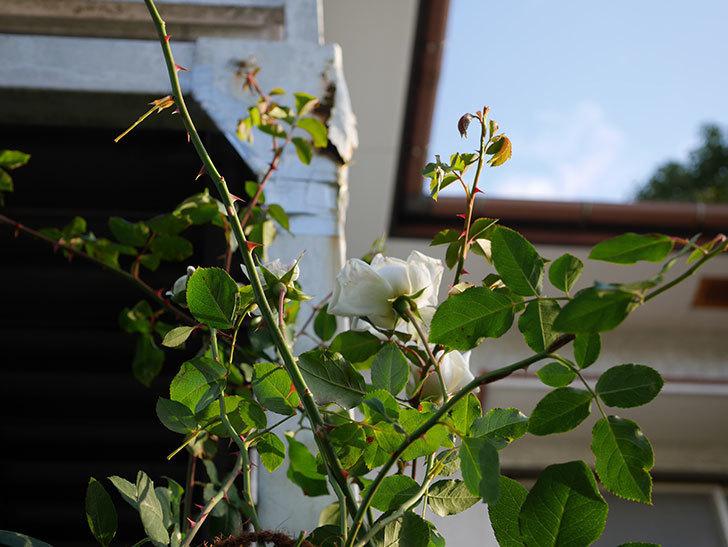 新雪(Shinsetsu)の秋花が咲いた。ツルバラ。2020年-007.jpg