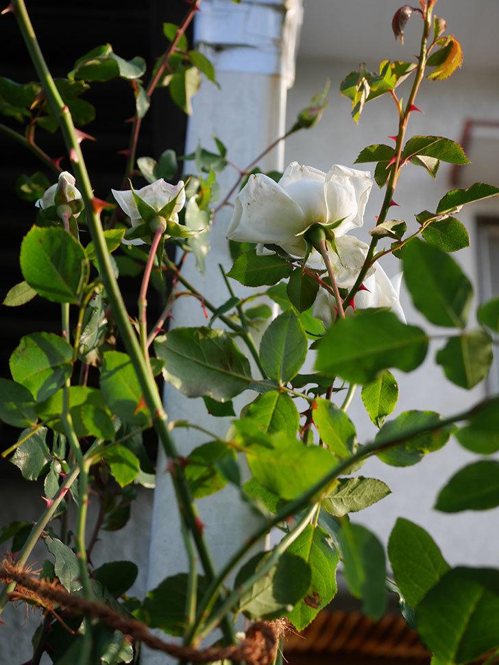 新雪(Shinsetsu)の秋花が咲いた。ツルバラ。2020年-008.jpg
