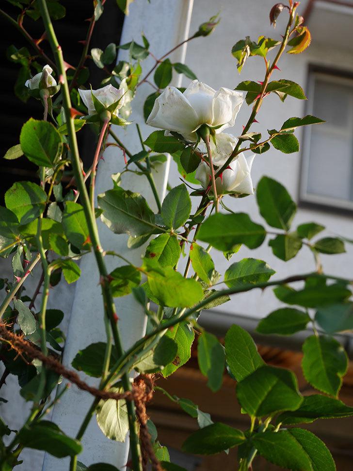 新雪(Shinsetsu)の秋花が咲いた。ツルバラ。2020年-009.jpg