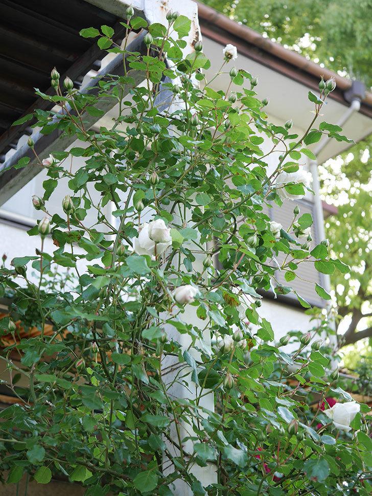 新雪(Shinsetsu)の花が咲いた。ツルバラ。2021年-001.jpg
