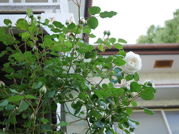 新雪(Shinsetsu)の花が咲いた。ツルバラ。2021年-002.jpg