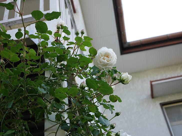 新雪(Shinsetsu)の花が咲いた。ツルバラ。2021年-003.jpg
