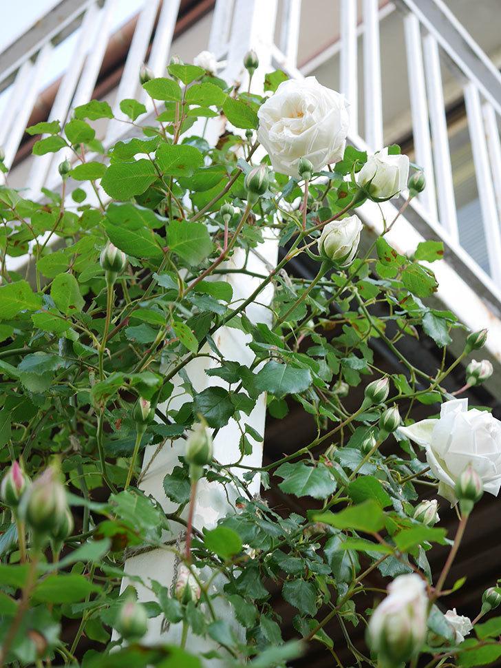 新雪(Shinsetsu)の花が咲いた。ツルバラ。2021年-005.jpg