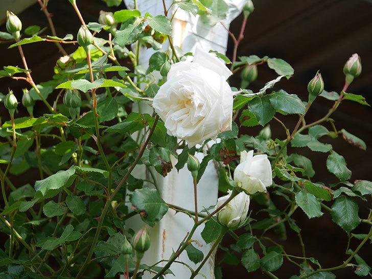 新雪(Shinsetsu)の花が咲いた。ツルバラ。2021年-006.jpg