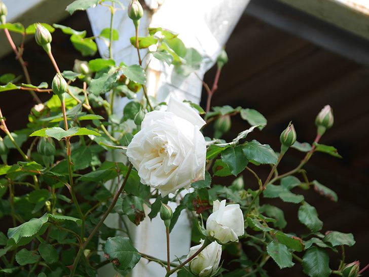 新雪(Shinsetsu)の花が咲いた。ツルバラ。2021年-007.jpg
