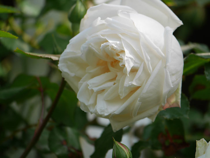 新雪(Shinsetsu)の花が咲いた。ツルバラ。2021年-008.jpg