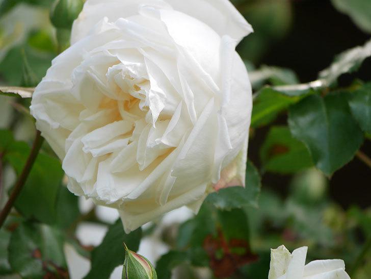 新雪(Shinsetsu)の花が咲いた。ツルバラ。2021年-009.jpg
