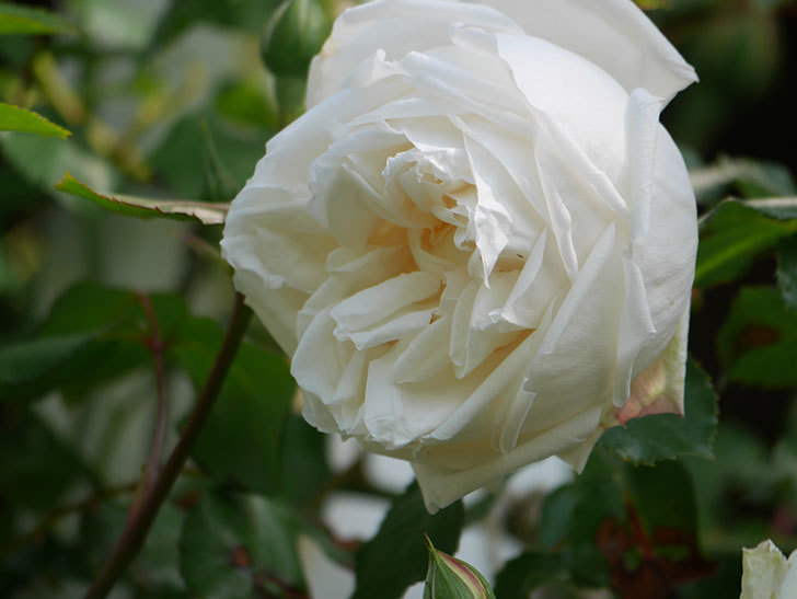 新雪(Shinsetsu)の花が咲いた。ツルバラ。2021年-010.jpg